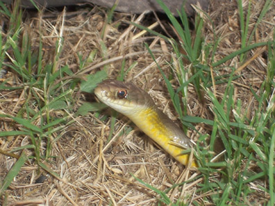 Eastern Yellow Bellied Racer Adult Non Venomous Average Size 30 To 50 Inches