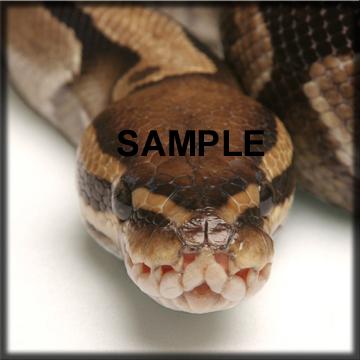 Texas Snake Show T-Shirt