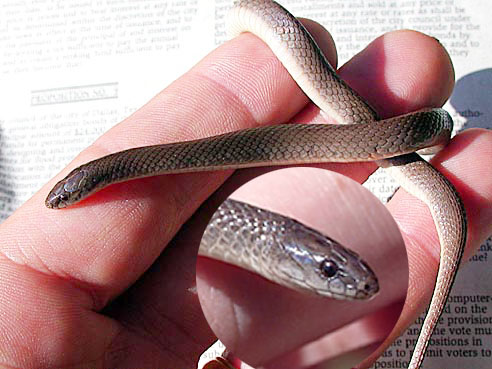Rough Earth Snake