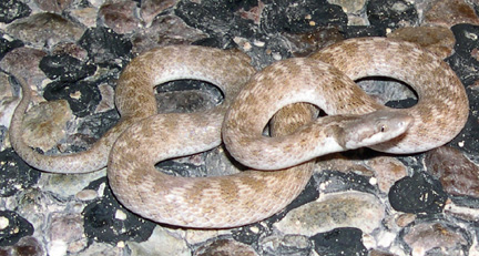 Texas Night Snake