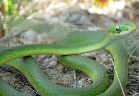 Rough Green Snake: garden snakes in texas